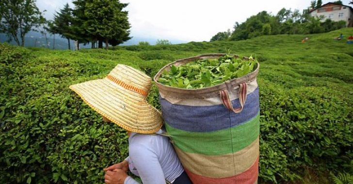Organik yaş çayın taban fiyatı belli oldu